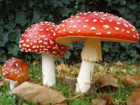 Мухомор красный — чем он опасен? 70 фото смертельного гриба, описание как употреблять!