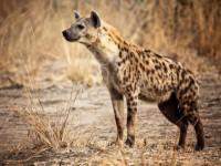 Гиена — образ жизни и среда обитания животного. Описание, фото и видео!