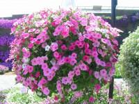 Петуния — выращивание из семян, посадка и уход в открытом грунте 65 фото +видео