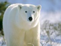 Белый медведь: где обитают, чем питаются, образ жизни, 80 фото + видео!