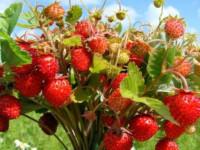 Земляника — как посадить, выращивать в открытом грунте из семян? Полезные свойства + фото!