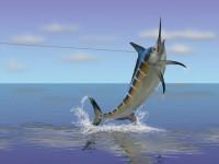 Рыба-меч: фото, видео, где обитает, чем питается, как размножаются?