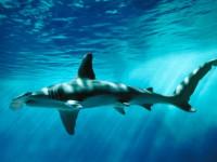 Акула — описание и строение тела, места обитания, питание, разновидности, размножение + 87 фото