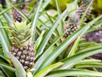 Ананас — характеристики плода и места созревания + 84 фото