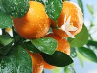 Апельсин — выращивание, хранение, польза и противопоказания + 101 фото