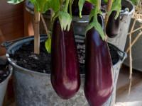 Баклажаны — особенности выращивания и правила ухода + 78 фото