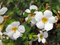Бакопа — описание вида, выращивание, уход, размножение + 74 фото