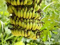 Банан — где растет, в чем их особенность и процесс выращивания + 80 фото