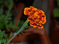 Бархатцы — подробное описание, разновидности, лечебные свойства, особенности выращивания + 73 фото