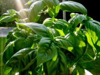 Базилик — как посадить, вырастить, правила полива + 59 фото