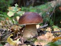 Белый гриб — места произрастания, выращивание на дому + 81 фото