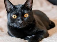 Бомбейская кошка — внешний вид, повадки, болезни, уход, кормежка + 75 фото
