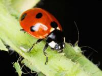 Божья коровка — история названия, информация о насекомом, враги, окрас + 97 фото