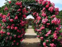 Чайная роза — сорта, высадка, секреты ухода, домашние виды (101 фото + видео)