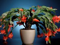 Декабрист — особенности ухода, сезонность растения, лечение болезней (90 фото + видео)