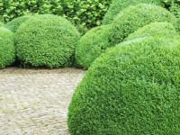 Декоративные кустарники — видовое разнообразие, особенности посадки и ухода + 77 фото