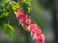 Дицентра — откройте для себя новый мир садовой красоты + 82 фото