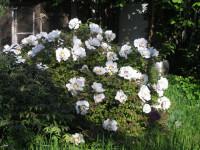 Древовидные пионы — сорта, саженцы и посадка, размножение (73 фото)