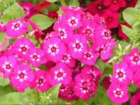 Друммонда — особенности растения, выращивание из рассады, подготовка семян + 79 фото