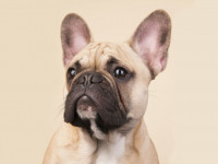 Французский бульдог — история породы, описание, уход и кормление + 81 фото