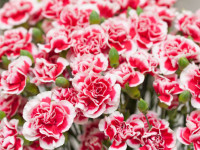 Гвоздика — 98 фото декоративного садового цветка