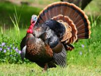 Индюк — особенности птицы, породы, уход, размножение, питание + 67 фото