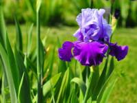 Ирисы — описание вида, выращивание, размножение + 102 фото