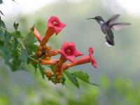 Кампсис — посадка, уход, правила расположения, полив, типы размножения (67 фото + видео)