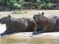 Капибары — ареал обитания, образ жизни, характер, рацион, размножение + 73 фото