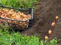 Картофель — 84 фото посадки разных видов самого распространенного клубня
