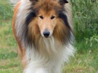Колли собака — характеристика, особенности характера и дрессуры, уход и содержание, рацион + 80 фото