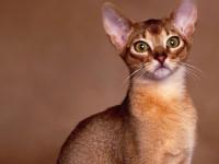 Кошка Абиссинской породы — содержание дома, игривость, привязанность к человеку (93 фото + видео)