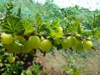 Крыжовник — подборка лучших фото самого полезного растения