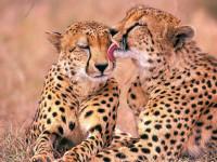 Леопард — места обитания, жизненный цикл, гон и сроки жизни + 118 фото