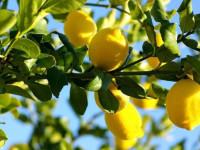 Лимонное дерево — особенности, домашнее выращивание, уход и основные проблемы (91 фото + видео)