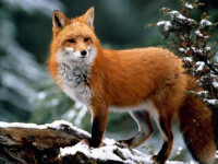 Лиса — места обитания, охота и питание, естественные враги + 85 фото