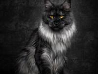 Мейн кун — история возникновения, описание породы, характер + 84 фото