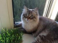 Невская маскарадная кошка — история, отличительные черты, стандарты, характер, питание + 97 фото