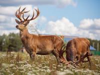 Олень — описание, основные виды, отличительные особенности подвидов + 87 фото