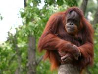 Орангутан — среда обитания, внешний вид, способности, детеныши + 94 фото
