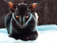 Ориентальная кошка — история породы, современные стандарты, характер, уход, питание + 83 фото