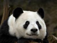 Панда — ареал обитания, особенности нрава, виды, рацион, особенности размножения + 94 фото