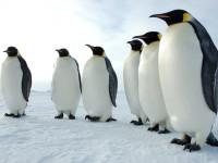 Пингвин — питание, места обитания, размножение и продолжительность жизни + 111 фото