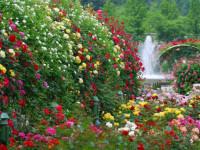 Роза — требования к росту, почве и основные проблемы при пересадке + 95 фото
