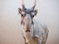 Сайгак (сайга) — повадки и внешний вид, места обитания, рацион, размножение + 71 фото