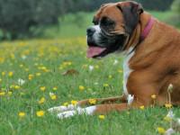Собака боксер — окрас, бойцовские качества, уход и воспитание, питание + 95 фото