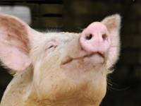 Свинья — классификация и среда обитания, особые виды, содержание + 68 фото