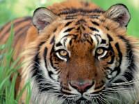 Тигр — описание хищника, виды тигров, основные + 103 фото