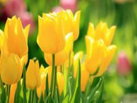 Тюльпаны — высадка и специфика выращивания, уход и сорта цветков + фото