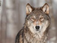 Волк — общая характеристика, теории эволюции, особенности хищника, рацион + 79 фото